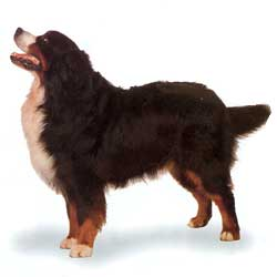 Bernese Mountain Dog stand