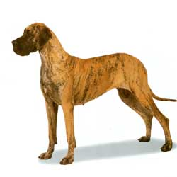 Great Dane stand