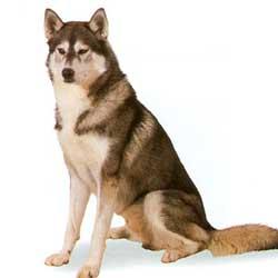 Siberian Husky sit