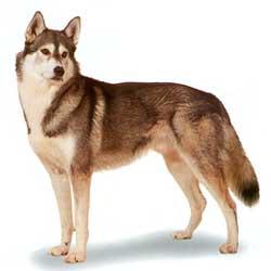 Siberian Husky stand